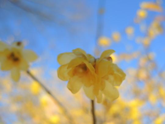 早くもロウバイが咲いていました_e0232277_1536984.jpg