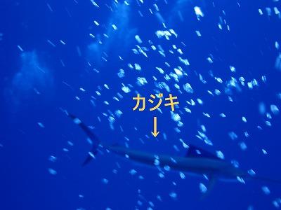 12月26日 ハンマーヘッドシャーク群れ100越え_d0113459_1984164.jpg