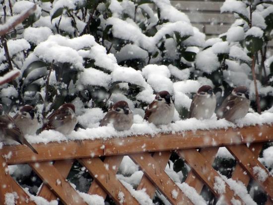 スズメの餌台、冬本番の雪景色♪_a0136293_1641444.jpg