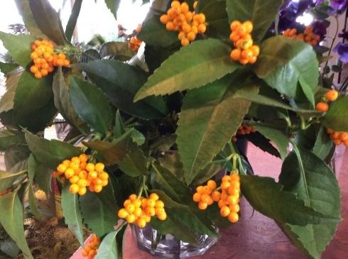 明日から、やっと、切り花・・・菊も葉牡丹もビューティフル_b0137969_19112946.jpg