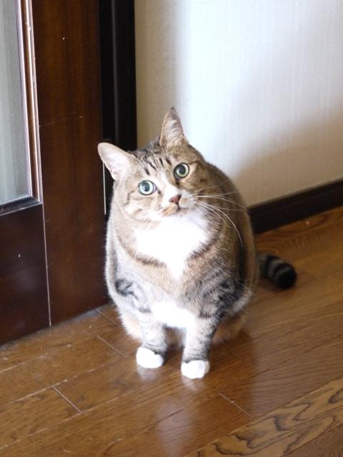 猫のお留守番 リュウくんジュンくん恋ちゃんトラキチくん編。_a0143140_1744751.jpg