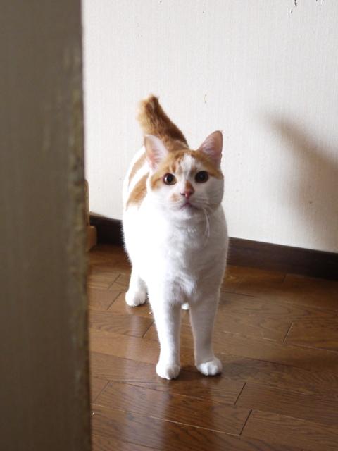 猫のお留守番 リュウくんジュンくん恋ちゃんトラキチくん編。_a0143140_17461945.jpg