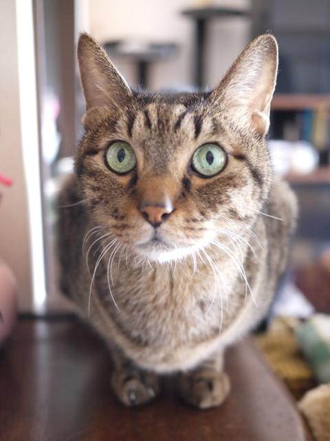 猫のお留守番 リュウくんジュンくん恋ちゃんトラキチくん編。_a0143140_17473698.jpg