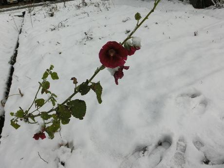 雪大根・ど根性タチアオイの花_a0203003_1131062.jpg