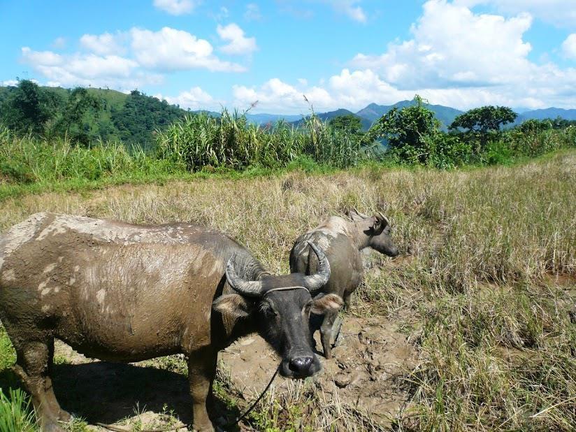 """水牛と山岳民族の """"循環する暮らし~フィリピン山岳地方でホームステイの旅~_b0128901_00115767.jpg"""