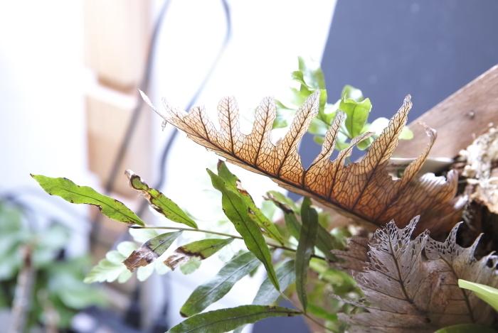 """Drynaria rigidula \""""New-Caledonia\""""_a0194582_15363352.jpg"""
