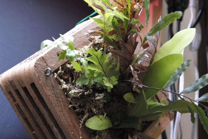 """Drynaria rigidula \""""New-Caledonia\""""_a0194582_15363540.jpg"""