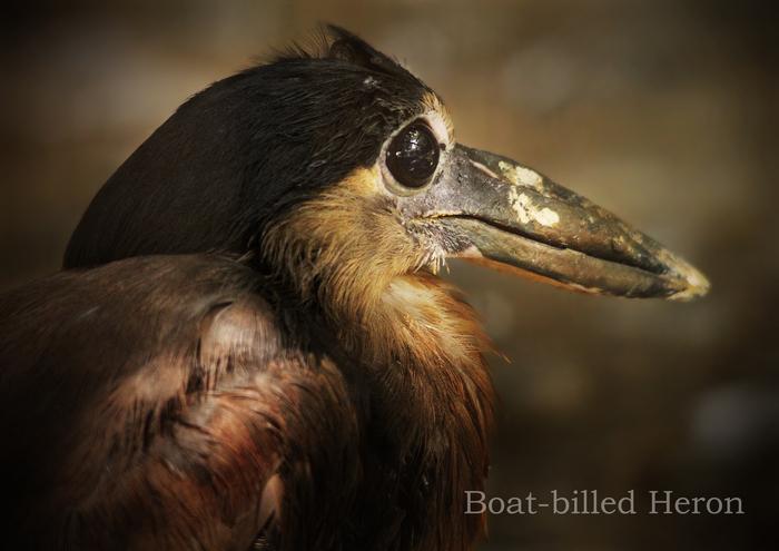 ヒロハシサギ:Boat-billed Heron_b0249597_16234930.jpg