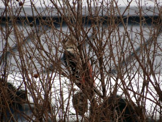 正月の庭にアカゲラが~~♪_a0136293_14531847.jpg