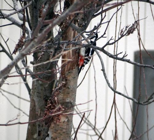 正月の庭にアカゲラが~~♪_a0136293_15521724.jpg