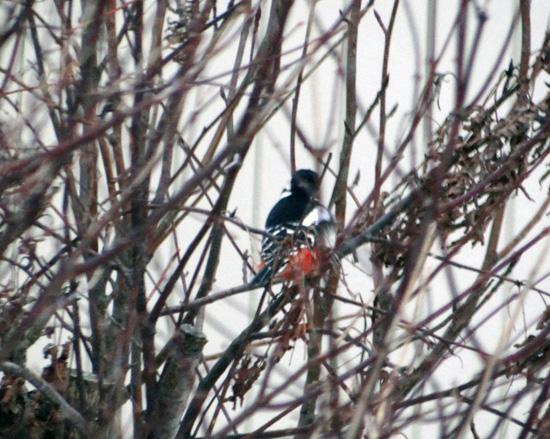 正月の庭にアカゲラが~~♪_a0136293_15532342.jpg