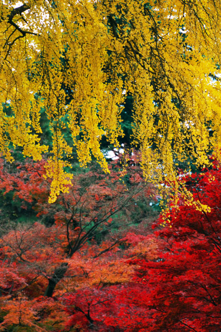 新宿御苑の紅葉の最盛期1_a0263109_13205948.jpg