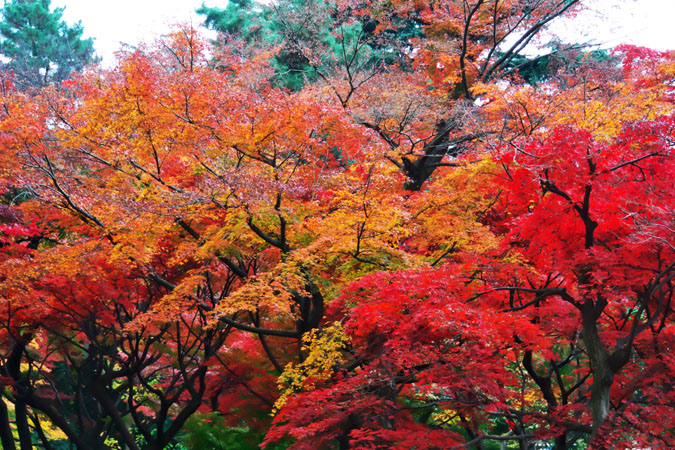 新宿御苑の紅葉の最盛期1_a0263109_1321291.jpg