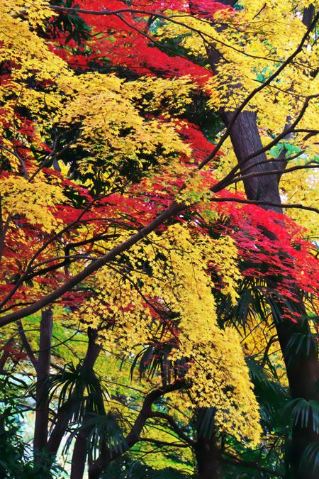 新宿御苑の紅葉の最盛期1_a0263109_13225249.jpg