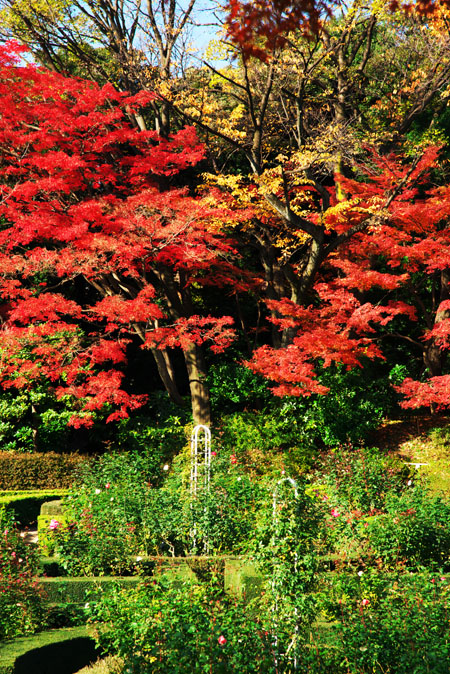 旧古河庭園の紅葉1_a0263109_13471666.jpg