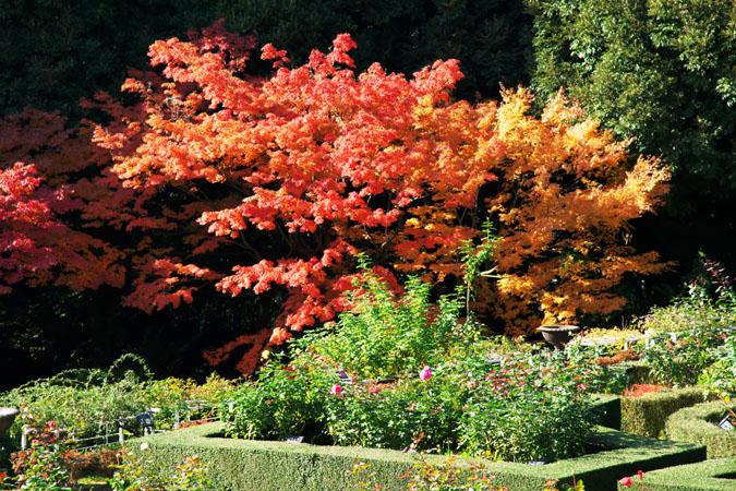 旧古河庭園の紅葉1_a0263109_13472098.jpg