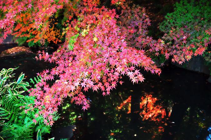 旧古河庭園の紅葉1_a0263109_13473653.jpg