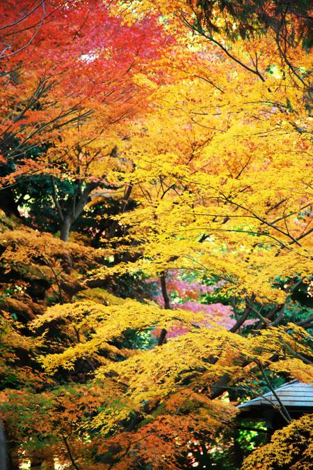旧古河庭園の紅葉1_a0263109_13485371.jpg