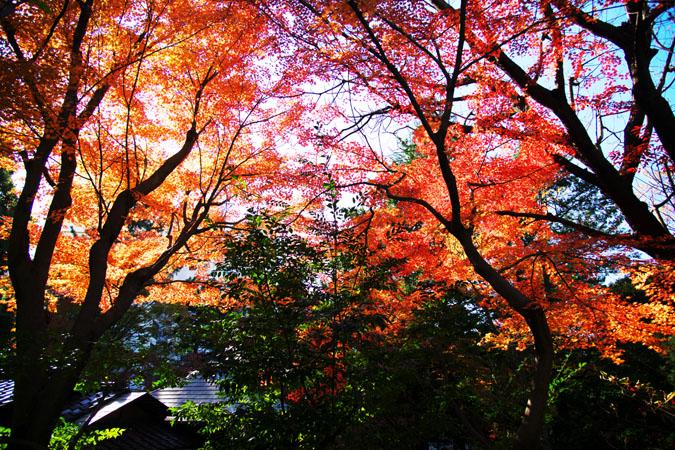旧古河庭園の紅葉1_a0263109_13491746.jpg