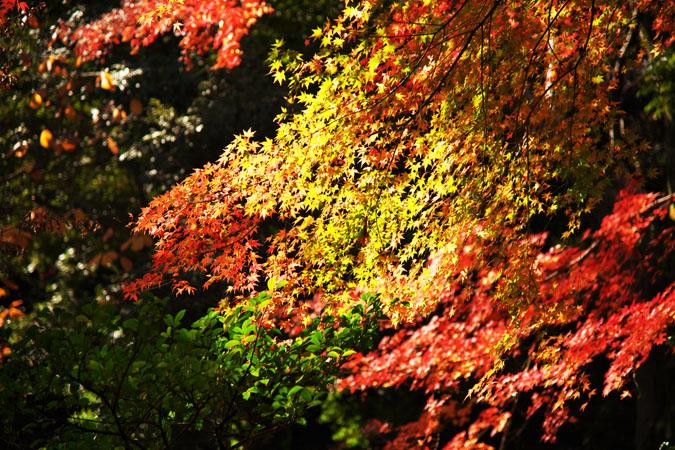旧古河庭園の紅葉1_a0263109_13493064.jpg
