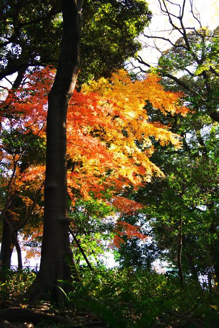 旧古河庭園の紅葉1_a0263109_1349440.jpg