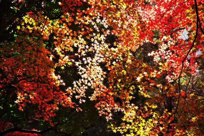 旧古河庭園の紅葉1_a0263109_13521032.jpg