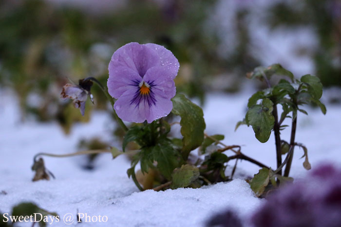 カナダ・ナナイモでは、雪が降りました!_e0046675_04084367.jpg