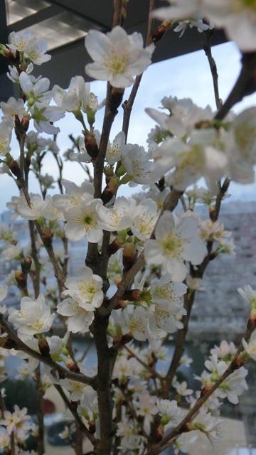 藤田八束と桜@世界平和を願って、春を呼ぶ桜・・・啓翁桜(けいおうさくら)が可愛く咲いています_d0181492_20382256.jpg