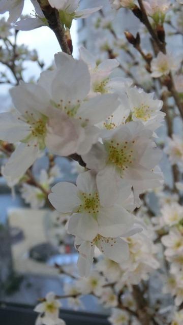 藤田八束と桜@世界平和を願って、春を呼ぶ桜・・・啓翁桜(けいおうさくら)が可愛く咲いています_d0181492_20383892.jpg