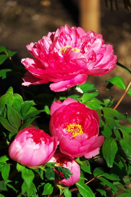 初春の上野東照宮の冬牡丹2_a0263109_10541523.jpg