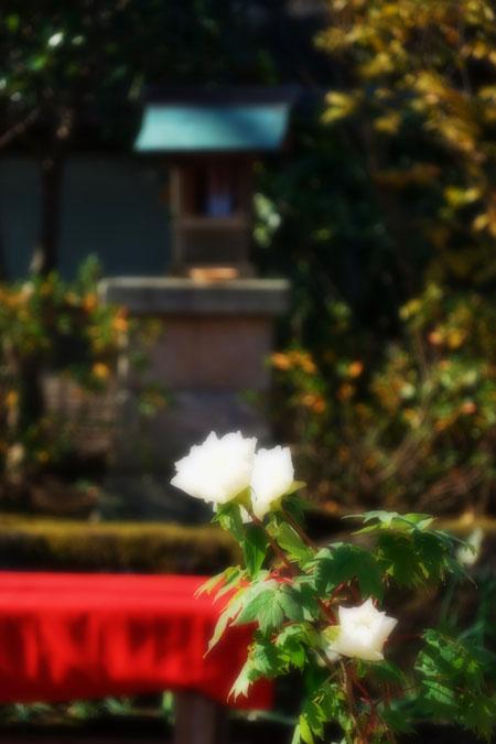 初春の上野東照宮の冬牡丹2_a0263109_10542292.jpg