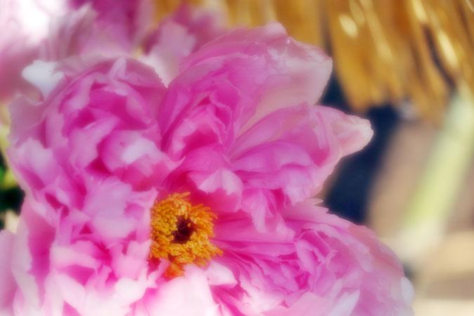 初春の上野東照宮の冬牡丹2_a0263109_1054453.jpg