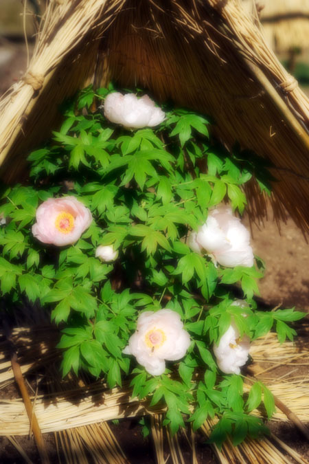 初春の上野東照宮の冬牡丹2_a0263109_1054597.jpg