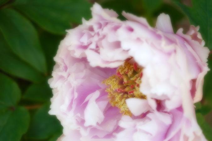 初春の上野東照宮の冬牡丹2_a0263109_1054821.jpg