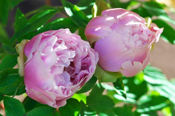 初春の上野東照宮の冬牡丹2_a0263109_10555824.jpg