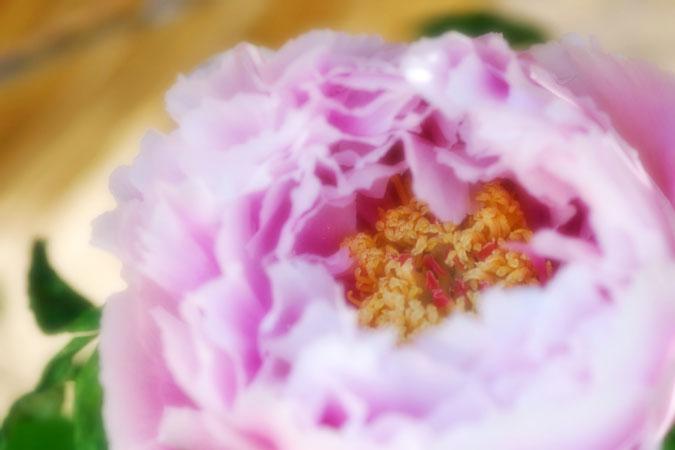 初春の上野東照宮の冬牡丹2_a0263109_10561484.jpg