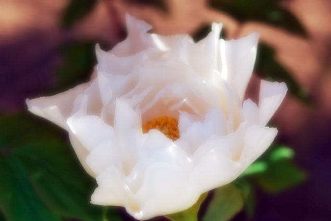 初春の上野東照宮の冬牡丹2_a0263109_10562842.jpg