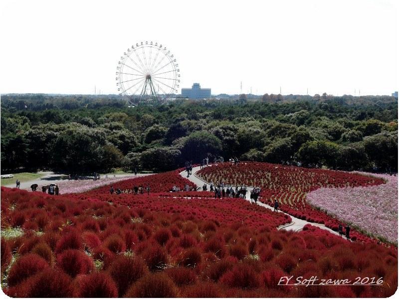 ◆ コキアの丘 「ひたち海浜公園」へ (2015年10月)_d0316868_9372554.jpg