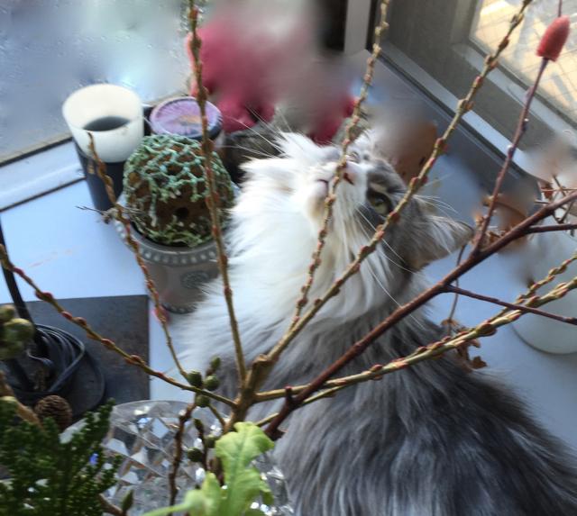 柳(ロオジエ)の花芽にキスをするウーラちゃん。_e0356356_15432304.jpg