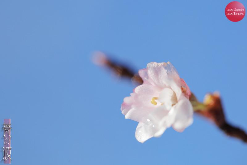 元旦散歩 雪の十月桜(冬桜・寒桜)編 ~立山グリーンパーク吉峰遊歩道~_b0157849_17010701.jpg