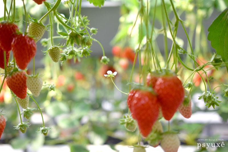 strawberry_e0131432_18002542.jpg