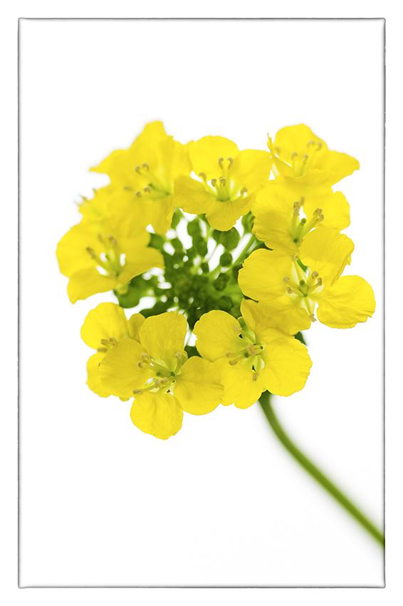 菜の花_d0111087_05513123.jpg