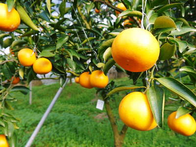 究極の柑橘「せとか」 収穫まであと1ヵ月!2月上旬の出荷に向け仕上げていきます!_a0254656_1635282.jpg