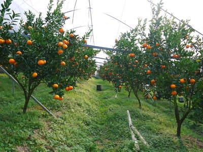 究極の柑橘「せとか」 収穫まであと1ヵ月!2月上旬の出荷に向け仕上げていきます!_a0254656_16371843.jpg