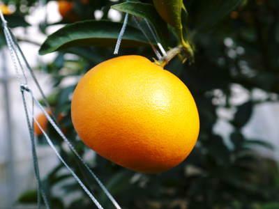 究極の柑橘「せとか」 収穫まであと1ヵ月!2月上旬の出荷に向け仕上げていきます!_a0254656_16581142.jpg