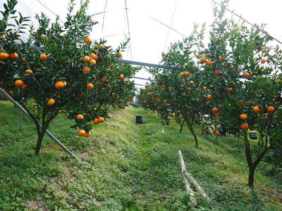 究極の柑橘「せとか」 収穫まであと1ヵ月!2月上旬の出荷に向け仕上げていきます!_a0254656_16582920.jpg