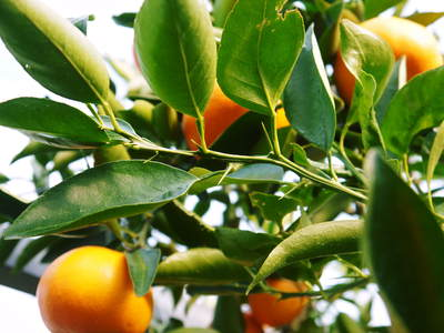 究極の柑橘「せとか」 収穫まであと1ヵ月!2月上旬の出荷に向け仕上げていきます!_a0254656_17173679.jpg