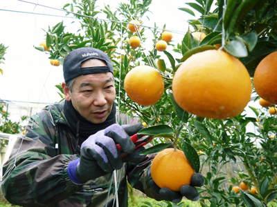究極の柑橘「せとか」 収穫まであと1ヵ月!2月上旬の出荷に向け仕上げていきます!_a0254656_1722395.jpg