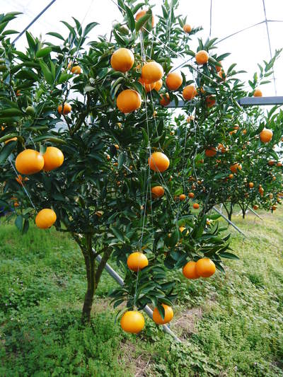 究極の柑橘「せとか」 収穫まであと1ヵ月!2月上旬の出荷に向け仕上げていきます!_a0254656_173215.jpg