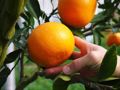 究極の柑橘「せとか」 収穫まであと1ヵ月!2月上旬の出荷に向け仕上げていきます!_a0254656_1763345.jpg